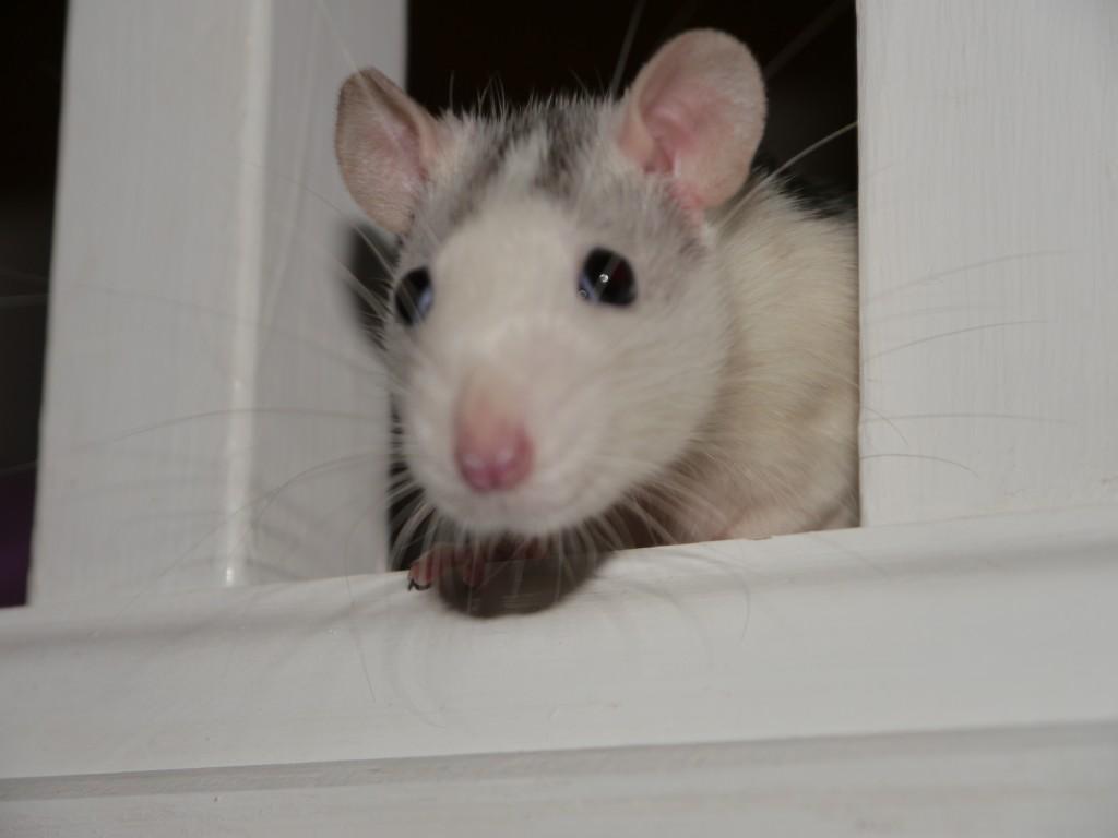 Rats make great pets