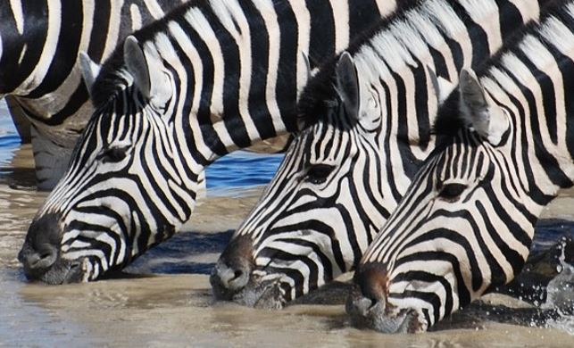 zebras are unique and so are you