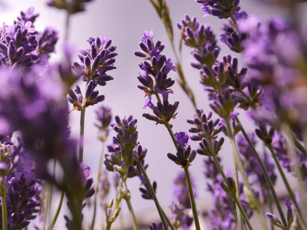 Lavender in Kent photography