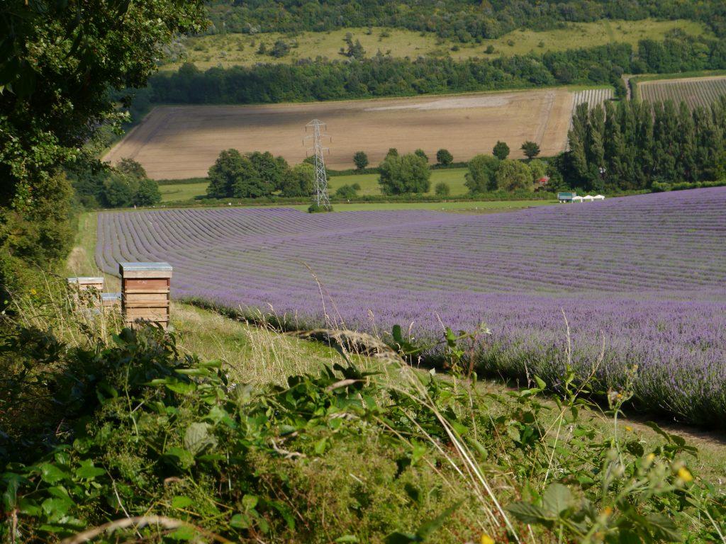 Lavender in Kent