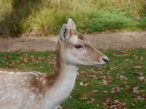Silent Sunday: autumn in Knole Park